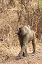 Olive baboon on patrol old world monkey serengeti tanzania africa Royalty Free Stock Photo