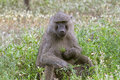 Olive baboons (Papio anubis) Stock Photo