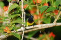 Olive-backed sunbird Stock Image
