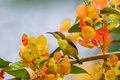 Olive-backed sunbird (Cinnyris jugularis) Royalty Free Stock Photo