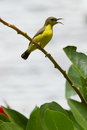 Olive Backed Sunbird - Female Royalty Free Stock Photo