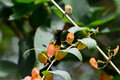 Olive-backed Sunbird (Nectarinia jugularis) Royalty Free Stock Photo