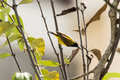 Olive-backed Sunbird & x28;Cinnyris jugularis& x29; Royalty Free Stock Photo