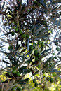 Olive branch with green fruits Royalty Free Stock Photo