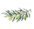 Olive branch watercolor illustration on white background Stock Images