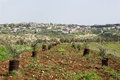 Olive cultivation of trees in the area of shomron samaria israel Royalty Free Stock Photos