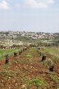 Olive cultivation of trees in the area of shomron samaria israel Stock Image