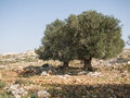 Olive cultivation of trees in the area of shomron samaria israel Stock Images