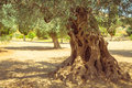 Olive field with big old olive tree roots Royalty Free Stock Photo