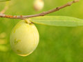 Olive fruit tree Royalty Free Stock Image