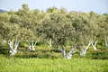 Olive grove ancient in the mediterranean Royalty Free Stock Photos