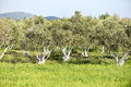 Olive grove ancient in the mediterranean Stock Image