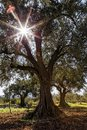 Olive grove with ancient olive trees Royalty Free Stock Photo