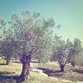 Olive grove in israel instagram effect Stock Photos