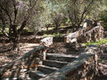 Olive grove terraced garden with trees and stone steps Stock Image