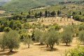 Olive grove in Toscany Stock Photography