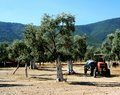 Olive grove and tractor Stock Photo
