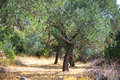 Olive grove Royalty Free Stock Photo
