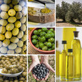 Olive harvest collage made of seven images. Royalty Free Stock Photo