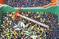 Olive harvest olives harvested in plastic crate Royalty Free Stock Photo