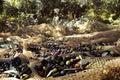 Olive harvesting Royalty Free Stock Photo