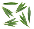 Olive leaves isolated on white, without shadow Royalty Free Stock Photo