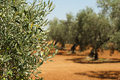 Olive plantation and olives on branch Royalty Free Stock Images