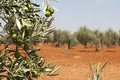 Olive plantation and olives on branch Stock Photography