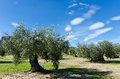 Olive plantation in villa del prado madrid Stock Images
