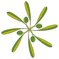 Olive rosette color Stock Photography