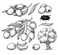 Olive set. Hand drawn vector illustration of branch with food, tree, oil drop. Royalty Free Stock Photo