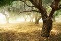 Oliva árbol