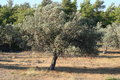 Olive tree Royaltyfri Bild