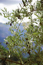 The olive-tree Stock Photography
