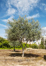 Olive tree with ancient stones is located in the remains of the ancient roman civilization in merida augusta emerita spain it s a Royalty Free Stock Image