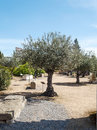 Olive tree with ancient stones is located in the remains of the roman civilization in merida augusta emerita spain it s a Royalty Free Stock Photo