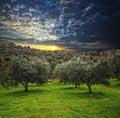 Olive tree background Royalty Free Stock Photo