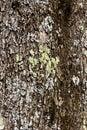 Olive Tree Bark