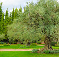 Olive tree in the beautiful garden spreading Royalty Free Stock Image