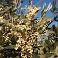Olive tree in bloom Royalty Free Stock Photo