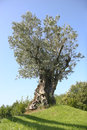 Olive tree with blue sky behind Stock Image