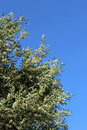 Olive tree branch on the blue sky background close up shot of an Royalty Free Stock Photography
