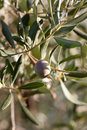 Olive tree branch close up with riping fruits Royalty Free Stock Images