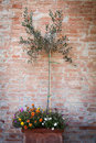 Olive tree on brick background Royalty Free Stock Image