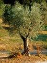 Olive tree in countryside Stock Photos