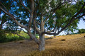 Olive tree on Crete, Greece Royalty Free Stock Photo