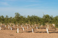 Olive tree farm nursery with rows of young trees Royalty Free Stock Images