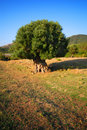 Olive tree in field Royalty Free Stock Photo