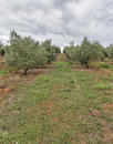 Olive tree field in Istria, Croatia Royalty Free Stock Photo