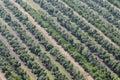 Olive tree field in Tarragona, Catalonia, Spain